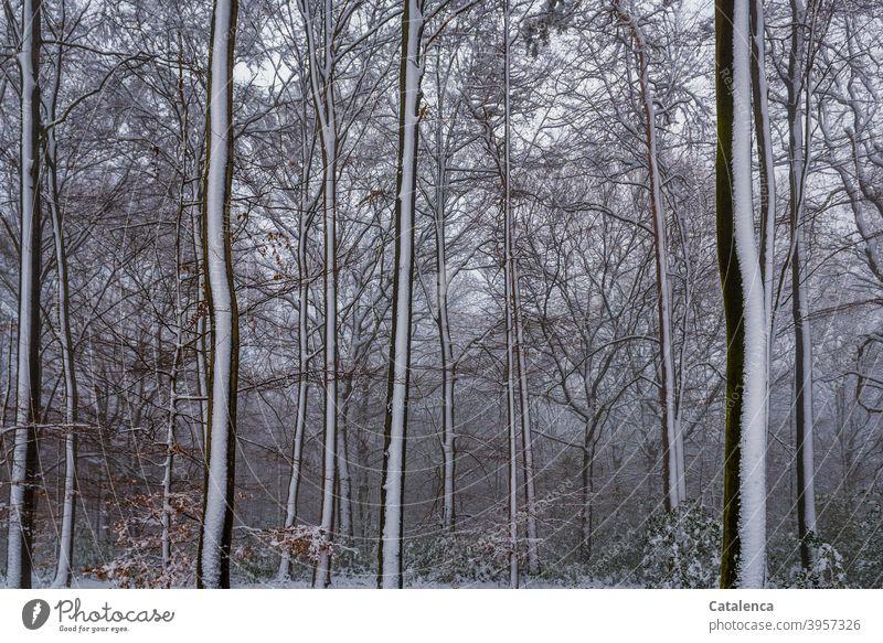 Es hat geschneit im Wald Wetter Witterung Tageslicht Kälte Winter Schnee Buche Baum Landschaft Natur Pflanze Braun Weiß Grün Jahreszeit