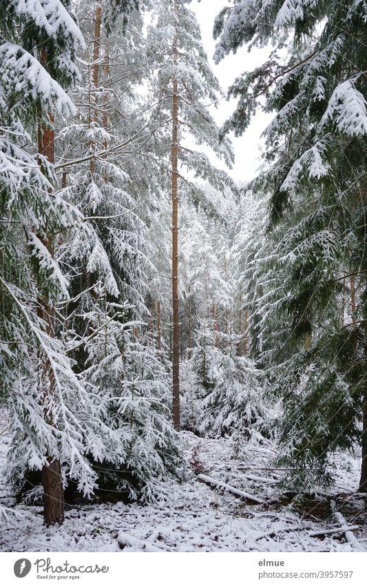 verschneiter Nadelwald / Fichtenwald / Winterstimmung Schnee Baum weiß Wald Totholz Landschaft Frost Winterwald Winterurlaub kalt Natur Umwelt Schneedecke