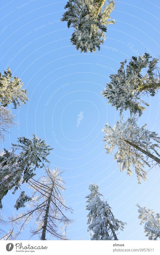 verschneite Nadelbaumkronen aus der Froschperspektive mit blauem Himmel und Sonnenschein / Winterstimmung Baumkronen Wintertag winterlich Winterwald