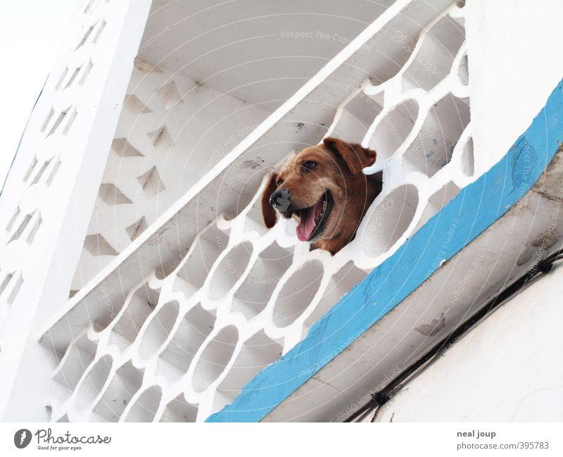 Wachhund - Watchdog Hund weiß Einsamkeit Tier Fassade Fröhlichkeit beobachten Neugier Kontakt Balkon Haustier Langeweile frech Portugal Interesse klug