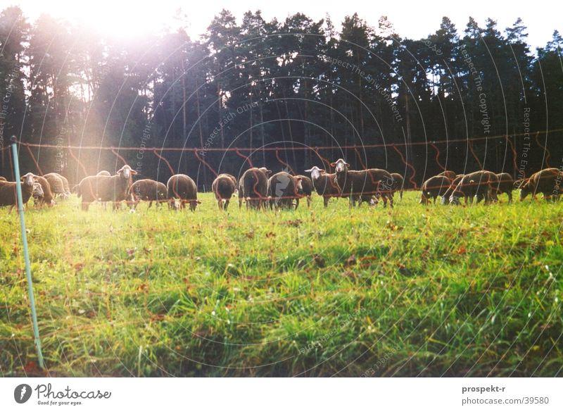 Look Sheep Natur Sonne grün Tier Wald Wiese Verkehr Zaun Schaf Sonnenfleck