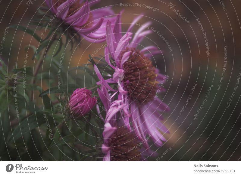 Nahaufnahme von lila Chrysanthemenblüten im Garten alle Herbst Hintergrund schön Schönheit Blüte hell Friedhof farbenfroh Farben Tag fallen Flora geblümt Blume
