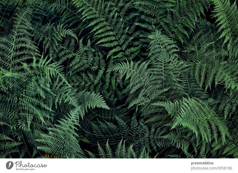 Farnblätter Hintergrund. Nahaufnahme von dunkelgrünen Farnblättern, die im Wald wachsen. Schuss von oben Saison geblümt Dschungel abschließen Ast Botanik