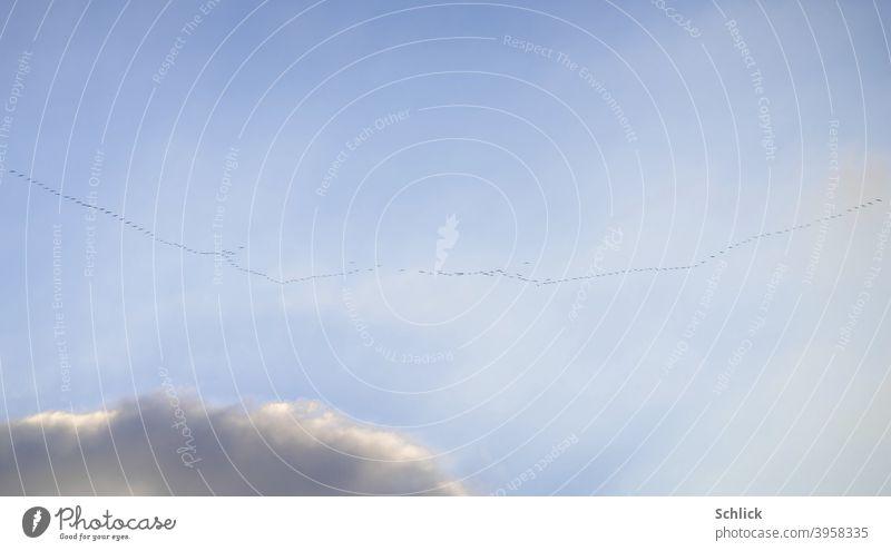 Viele viele Kraniche ziehen  vor blauem Himmel der Sonne entgegen Vögel Formation Flug Formationsflug Wolke winzig Reise fliegen Zugvögel klein Zugvogel Natur