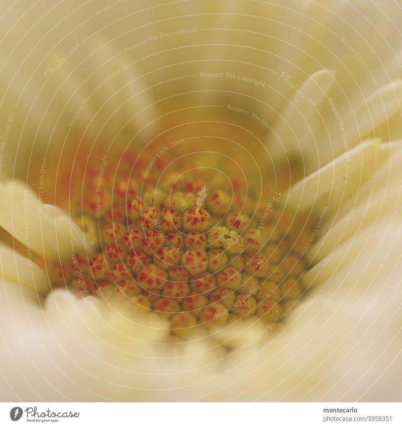 Blüte filigran Natürlich empfindlich Frühling zart entdecken frisch Wachstum Schwache Tiefenschärfe nah Umwelt Duft Außenaufnahme Detailaufnahme Blume