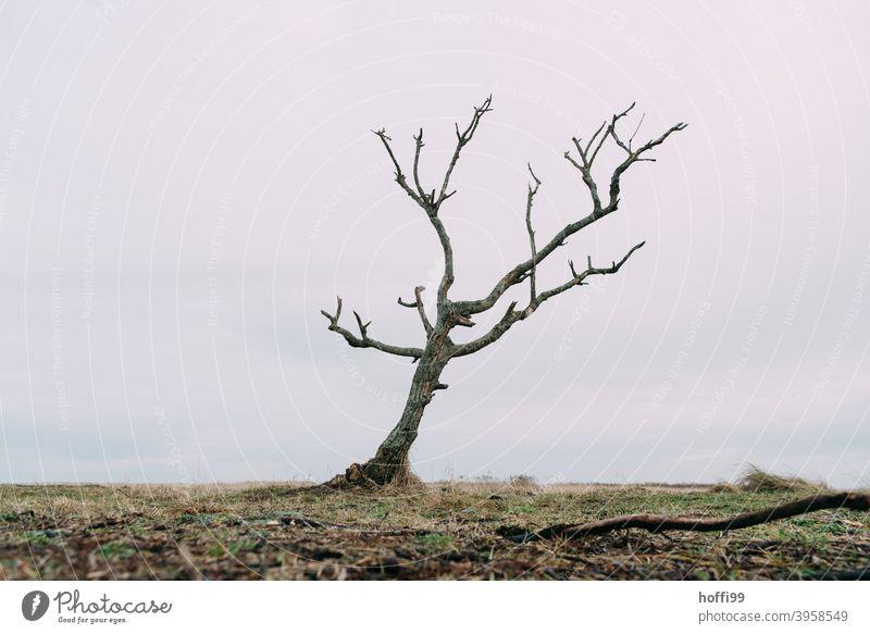 abgestorbener Baum am Meer abgestorbene Äste Natur Baumstumpf Leere ruhig Umweltverschmutzung Umweltverscmutzung sterben altern Baumsterben verdorren eingehen