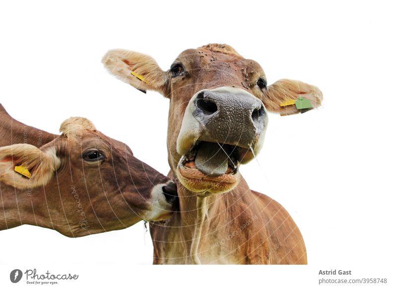 Lustiges Kuhfoto. Eine Kuh stupft eine andere Kuh am Hals an, so das diese überrascht Muh schreit braunvieh kühe kuh lustig muhen schreien rufen anstupsen