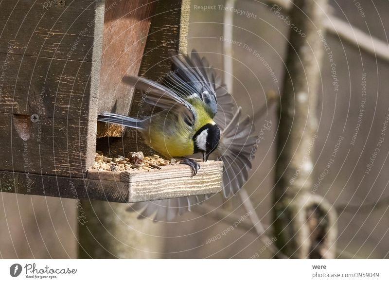 Kohlmeise flattert am Vogelfutterhäuschen Blaumeise Cyanistes caeruleus Parus Ater parus major Periparus Ater Wintervogel Tier Vogelfütterung Zweigstelle