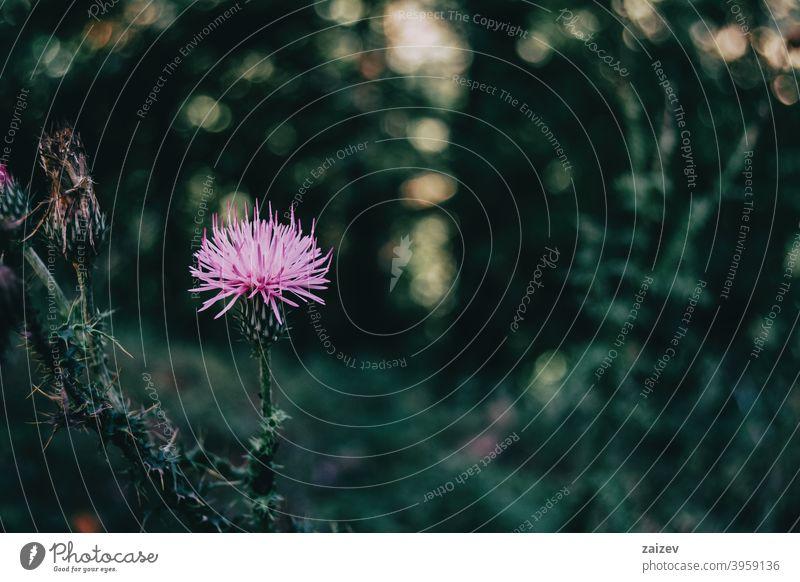 schöne lila Cirsium Blume auf einem dunklen Hintergrund Cirsium pumilum Ackerkratzdistel Medizin Behandlung therapeutisch Einladung medizinisch Heilung Stachel