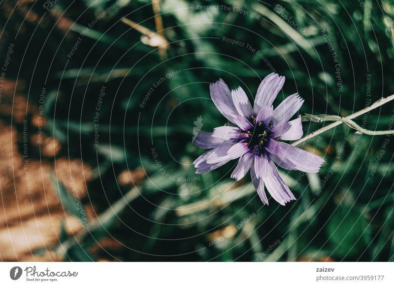 lila Catanache Blume auf einem dunklen Hintergrund Katanache caerulea Fotografie horizontal Wachstum Gartenbau Verwundbarkeit Amorette Zerbrechlichkeit