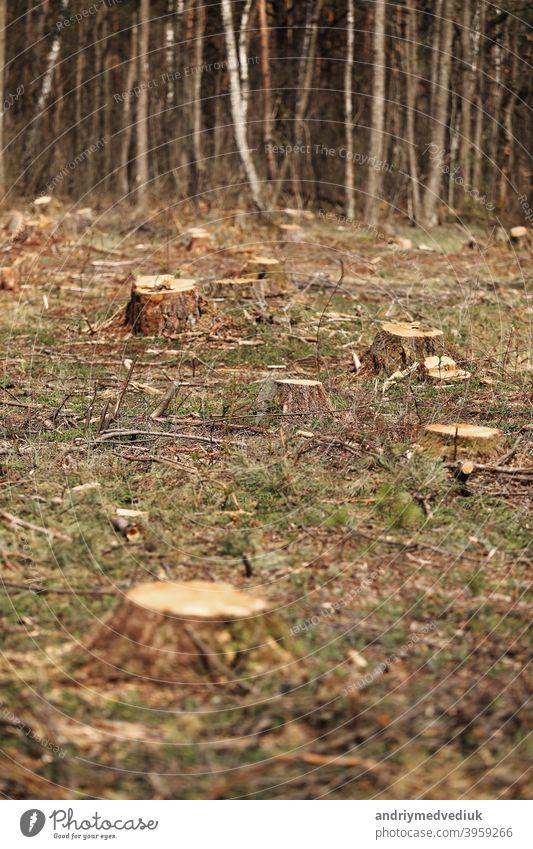 Das Bild nach der Fällung zeigt viele Stümpfe von Nadelbäumen, die im Boden verbleiben. stümpfe nach illegaler Fällung. selektiver Fokus nadelhaltig Bäume Natur