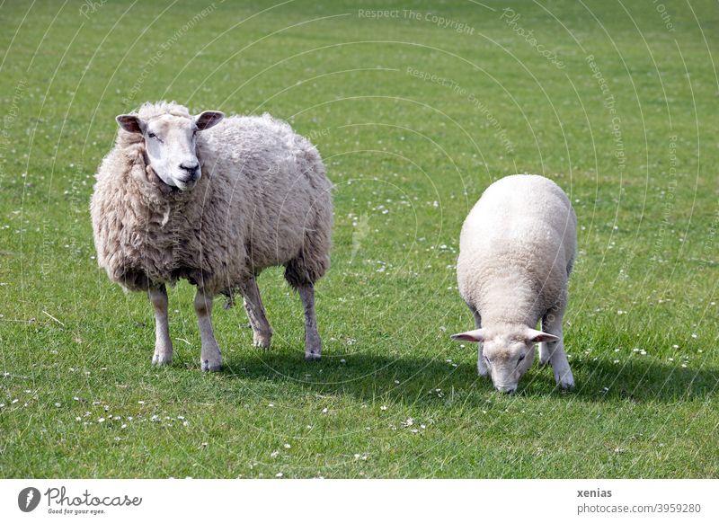 Mutterschaf und Lamm stehen auf einer grünen Wiese Schaf Weide Tier Wolle Nutztier Tierhaltung Gras Landwirtschaft Tierporträt Tierjunges Schaffell Landschaft