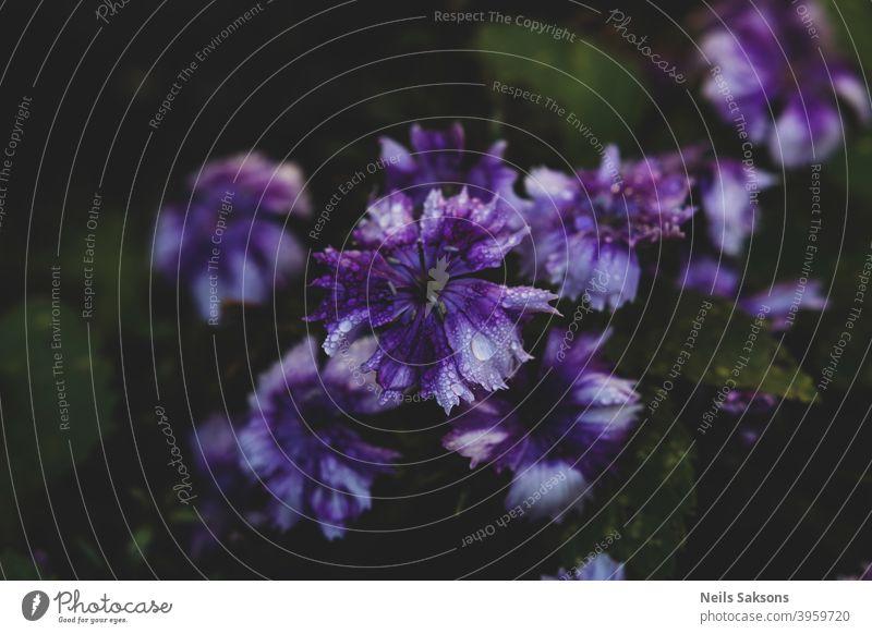 lila Blumen schwitzen nach regen schön Schönheit Blütezeit Überstrahlung blau Botanik Clematis Nahaufnahme Farbe farbenfroh Flora geblümt Garten Storchschnabel