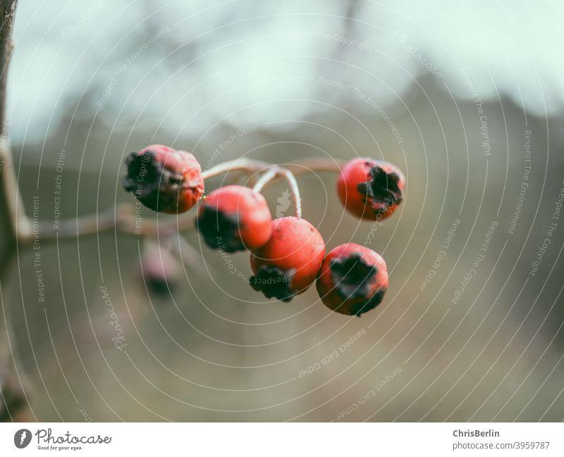 rote Beeren Frucht Nahaufnahme Farbfoto Natur Außenaufnahme Menschenleer Schwache Tiefenschärfe Detailaufnahme Wildpflanze Herbst Sträucher natürlich