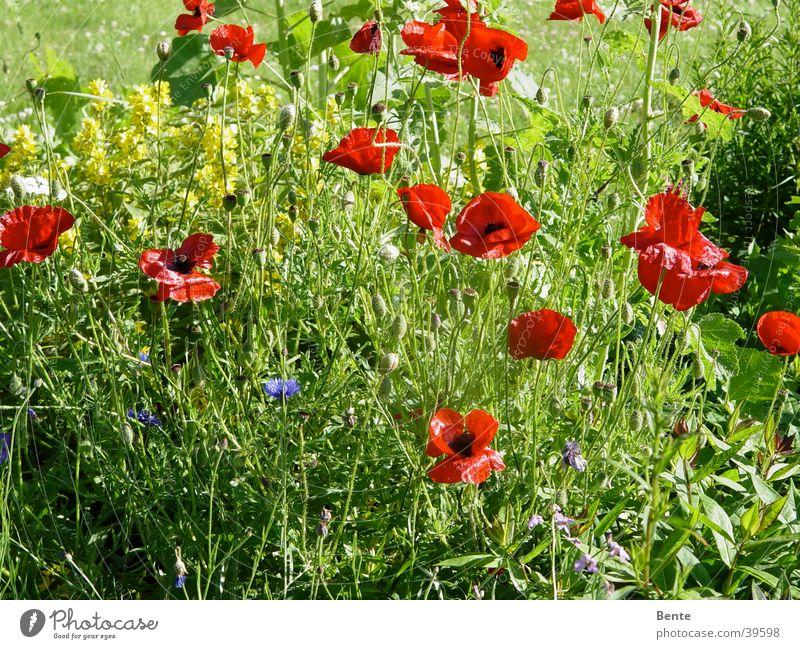 Sommerwiese Blume grün Blüte Gras Mohn Unkraut