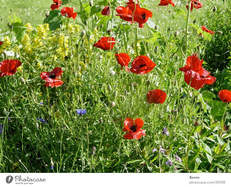 Sommerwiese Mohn Blüte Gras Blume grün Unkraut