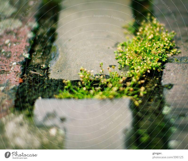 Köln UT | Ehrenfeld II | Urbane Begrünung Umwelt Natur Pflanze Moos Bauwerk Mauer Wand rot grau Wachstum erobern verbreiten Fuge Stein Backstein hart weich