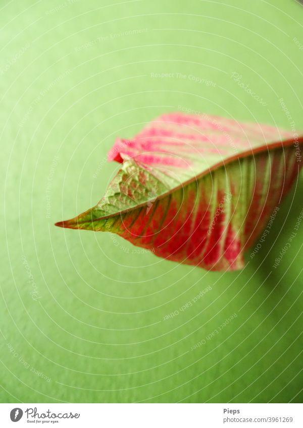 Rotgrünes Blatt vom Weihnachtsstern (Poinsettie) Blattspitze Blattadern Unterseite Adventsstern Immergrün Pflanze Zierpflanze zweifarbig dekorativ Linien