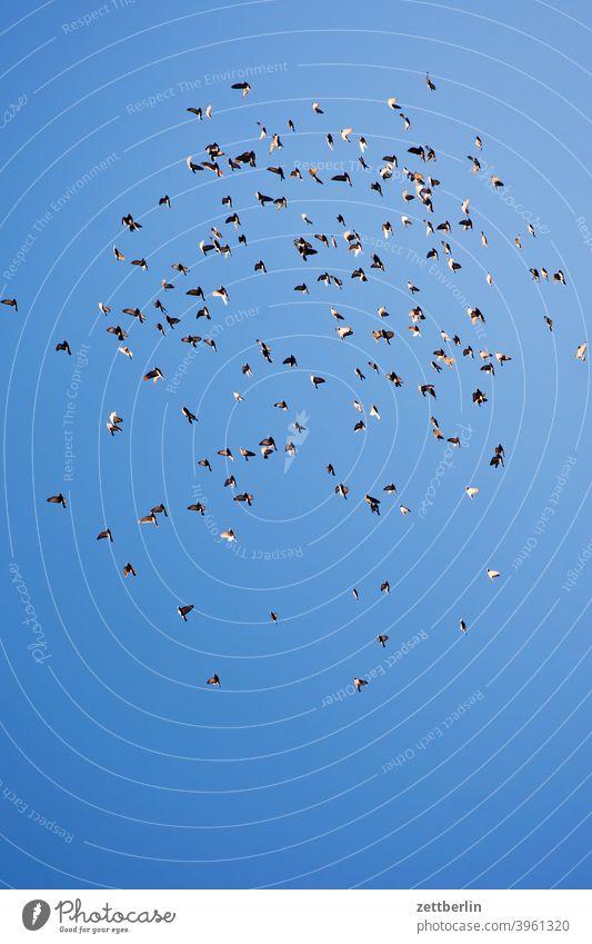 Fliegende Vögel ausflug fliegen froschperspektive haus himmel innenstadt mitte schar schwarm tauben vogel vogelschar vögekl winter wolkenlos vögel stadttaube