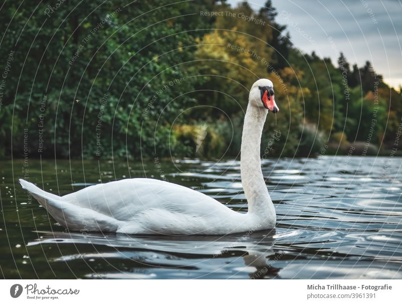 Schwan im See Cygnus olor Höckerschwan Vogel Wildtier Tiergesicht Kopf Schnabel Flügel Hals Feder Auge gefiedert nah Nahaufnahme Außenaufnahme Abend Bäume