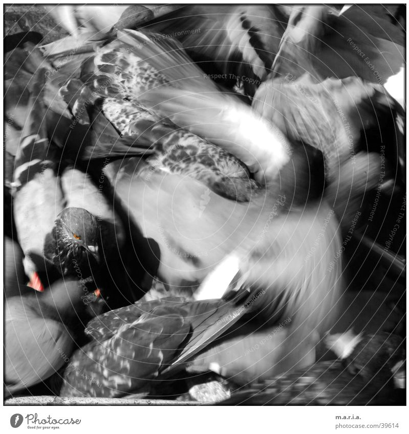 Taube Tier Bewegung Vogel fliegen chaotisch durcheinander kämpfen