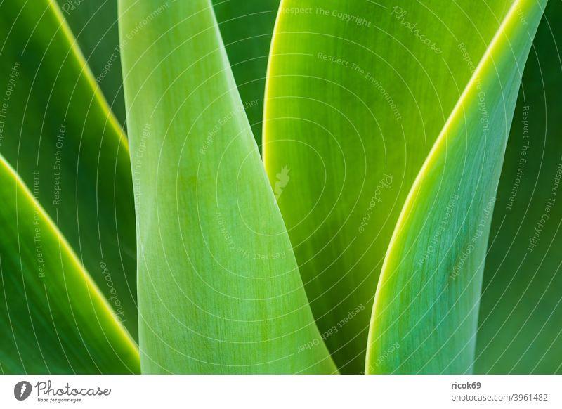 Detail einer grünen Pflanze auf der Insel Madeira, Portugal Fauna Planzenblatt Blatt Atlantischer Ozean Natur Urlaub Reise Erholung Tourismus entspannen