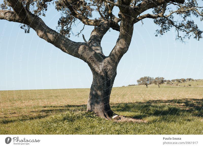 Korkeiche isoliert Cork Eiche Baum vereinzelt Herbst Umwelt Menschenleer grün Blatt Farbfoto Außenaufnahme Pflanze Eichenblatt Natur Herbstfärbung