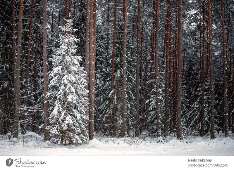 verschneite Tanne im Nadelwald. Kleine vor großen anderen. Vorherrschaft Kiefer nadelhaltig Forstwirtschaft Nadelbaum Baum Winter Schnee Frost Lettland Januar