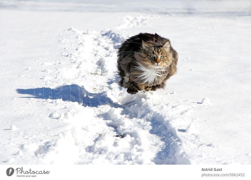 Eine weibliche Norwegische Waldkatze rennt und hüpft im Winter durch den Schnee norwegische waldkatze winter schnee laufen gehen rennen spielen aktiv bewegung