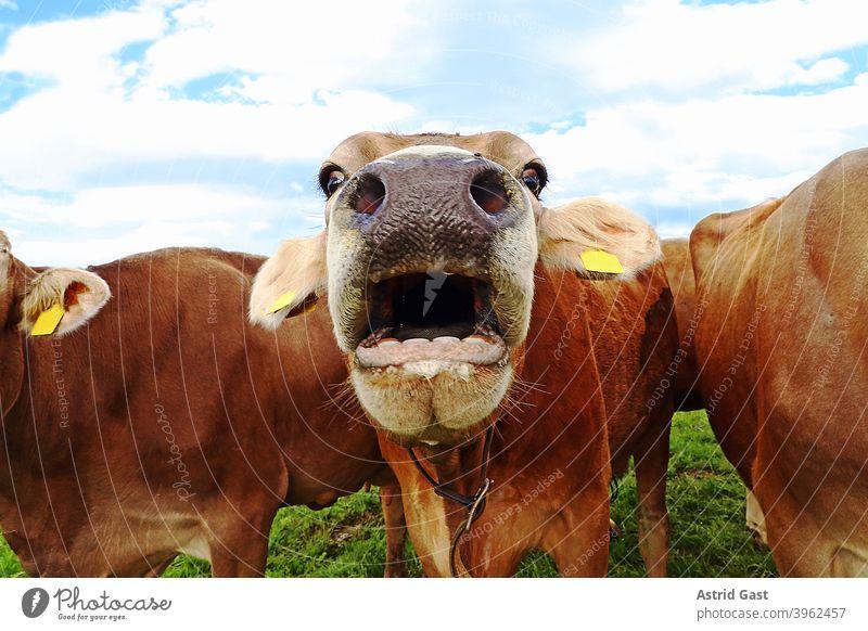 Lustiges Kuhfoto mit einer erstaunten Kuh mit offenem Maul kühe kuh braunvieh sprechen witzig lustig spaßig rinder milchkühe herde kuhherde bayern weide wiese