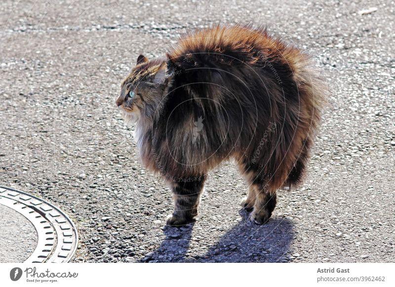 Eine weibliche Norwegische Waldkatze fühlt sich bedroht und macht einen Katzenbuckel und stellt alle Haare auf mimik überrascht überraschung klein dick braun