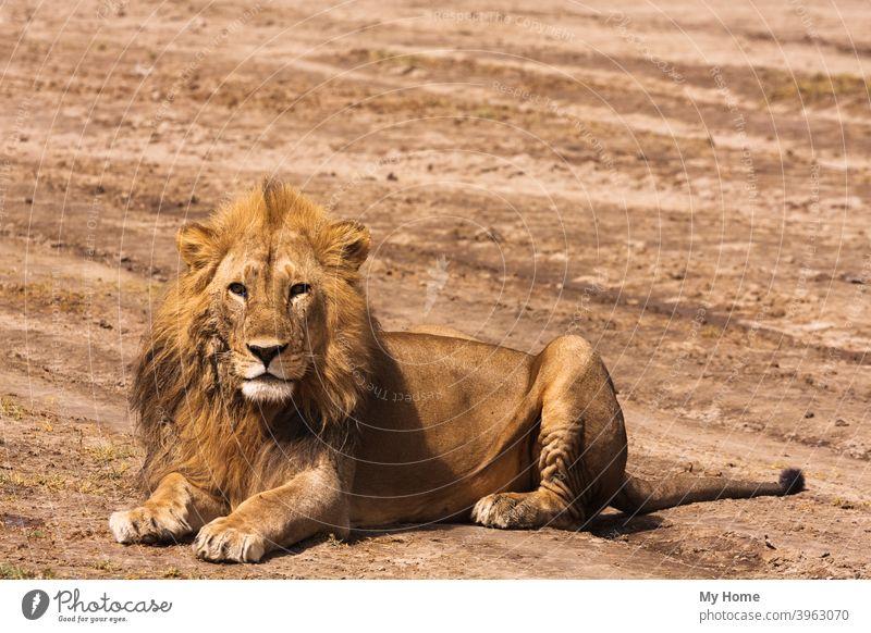 Der große Löwe. Sandige Savanne der Serengeti, Tansania Afrika Afrikanisch Tier entsetzlich Biest Raubkatze Fleischfresser Katze gefährlich dominant Fangzahn