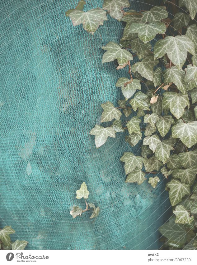 Schichtsalat Efeu Blatt Herbst Pflanze Gaze Kunststoff Abdeckung Schutz Baustelle Wachstum Zusammensein klein Versteck grün braun trocken nah verborgen Farbfoto