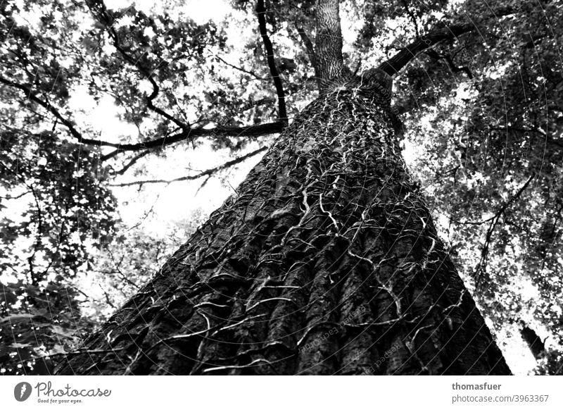 Baum von Efeu überwuchert, aber lebt weiter erdrückt Efeuranken Baumrinde Höhe Perspektive standhaft Geäst Himmel Schwarzweißfoto emporklimmen Sinnbild Äste