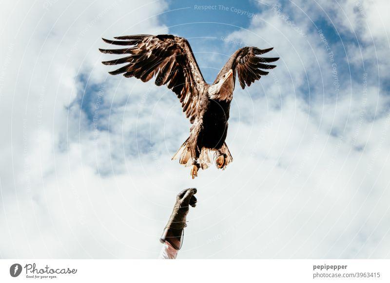 Weißkopfadler im Flug aus der Hand des Falkners Adler Greifvogel Vogel Tier Schnabel Feder Außenaufnahme Falknerei Falknerhandschuh Weisskopfseeadler Flügel