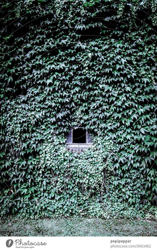 Eine Hauswand aus Efeu mit kleine Fenster mittendrin Wand Hauswandfenster Efeublatt Efeublätter Außenaufnahme Menschenleer Fassade Farbfoto Mauer Gebäude Tag