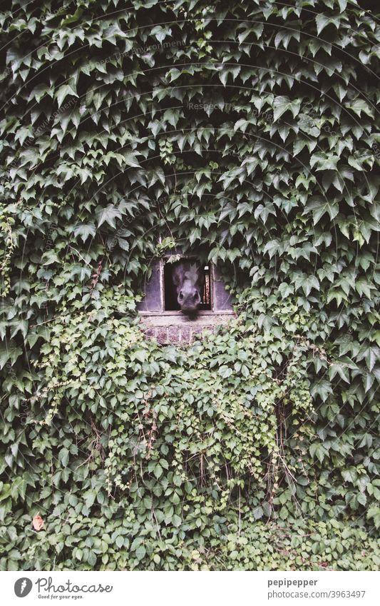 Eine Hauswand aus Efeu mit kleinem Fenster, aus dem ein Pferdekopf schaut Wand Hauswandfenster Efeublatt Efeublätter Außenaufnahme Menschenleer Fassade Farbfoto