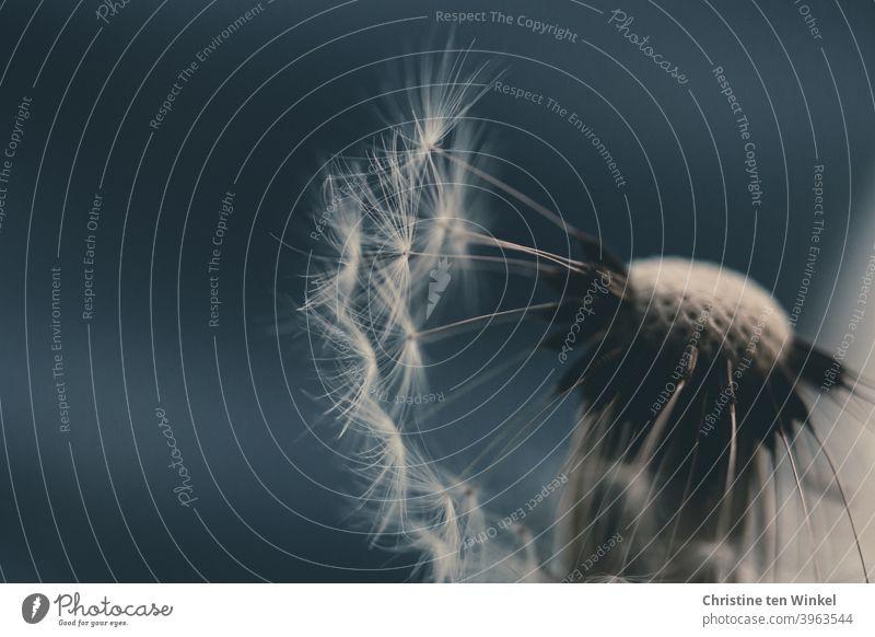jetzt aber schnell | bevor der nächste Windstoß kommt Löwenzahn Pusteblume Detailaufnahme Taraxacum Pflanze Natur Blume Löwenzahnsamen Makroaufnahme
