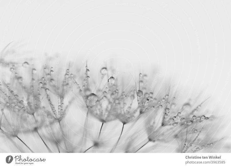 Makro der Schirmchen einer Pusteblume, die mit glitzernden Regentropfen / Tautropfen benetzt sind. Detailansicht. Löwenzahn Detailaufnahme Taraxacum Pflanze