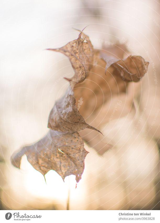 abgestorben | Bizarres trockenes und zusammengerolltes  Ahornblatt im Gegenlicht der tiefstehenden  Sonne Herbstblatt Laub Winter Vergänglichkeit vergänglich
