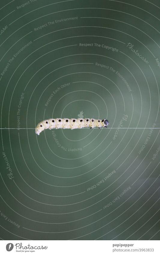 Raupe auf einem seidenen Faden grün Tier Insekt Schmetterling krabbeln Makroaufnahme Natur Außenaufnahme Larve balancieren Balance balancierend balacieren