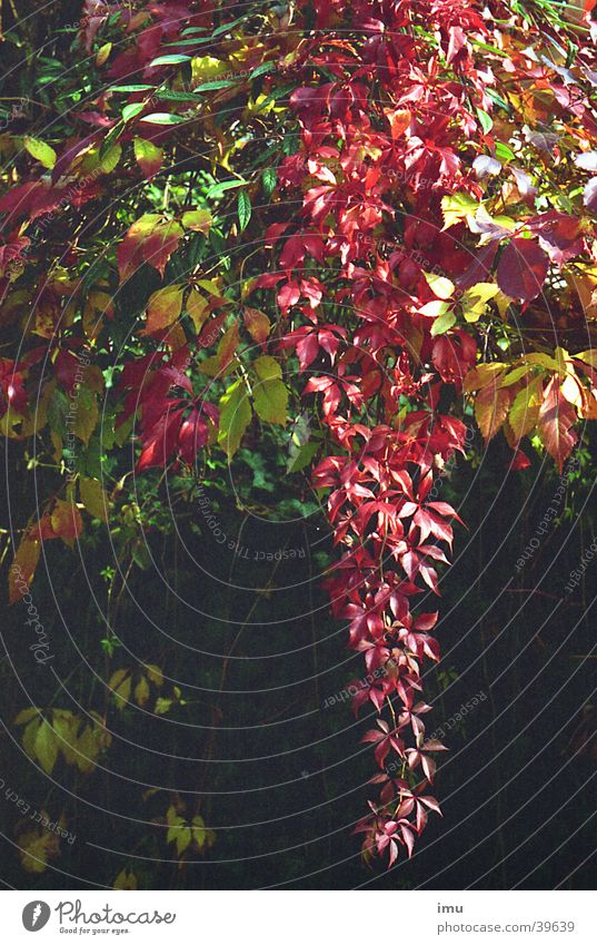 Herbst im Paradies - Parkanlage in Baden-Baden Blatt Weinblatt Indian Summer