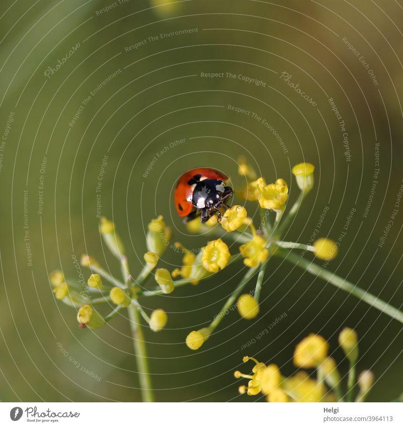 Marienkäfer auf gelber Fenchelblüte Käfer Insekt Glücksbringer Blüte Tier Natur Außenaufnahme Farbfoto Sommer Pflanze krabbeln Nahaufnahme