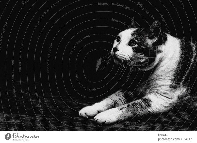 Kater, etwas verunsichert Katze Haustiere liegen Blick getigert Fell Tierporträt