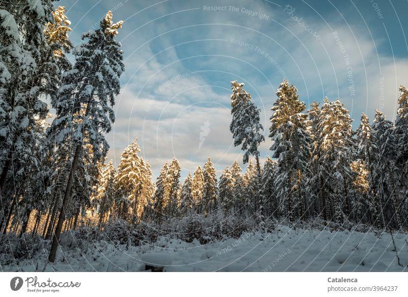 Spät am Nachmittag reißt die Wolkendecke auf, die Spitzen der verschneiten Tannen leuchten auf im Sonnenlicht. Jahreszeit Weiß Pflanze Natur Landschaft Baum