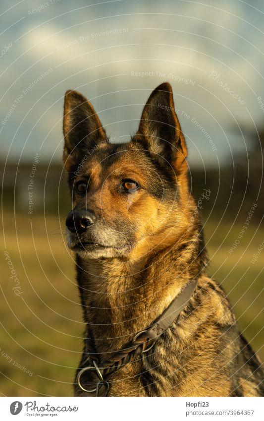 Deutscher Schäferhund auf einer Wiese Hund Haustier Tier Farbfoto Tierporträt Außenaufnahme Fell niedlich Blick Menschenleer Wachsamkeit beobachten Natur