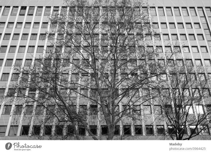 Großer alter Baum ohne Blätter im Winter vor der Fassade eines modern Bürogebäude mit vielen Fenstern im Westend von Frankfurt am Main in Hessen Hochhaus