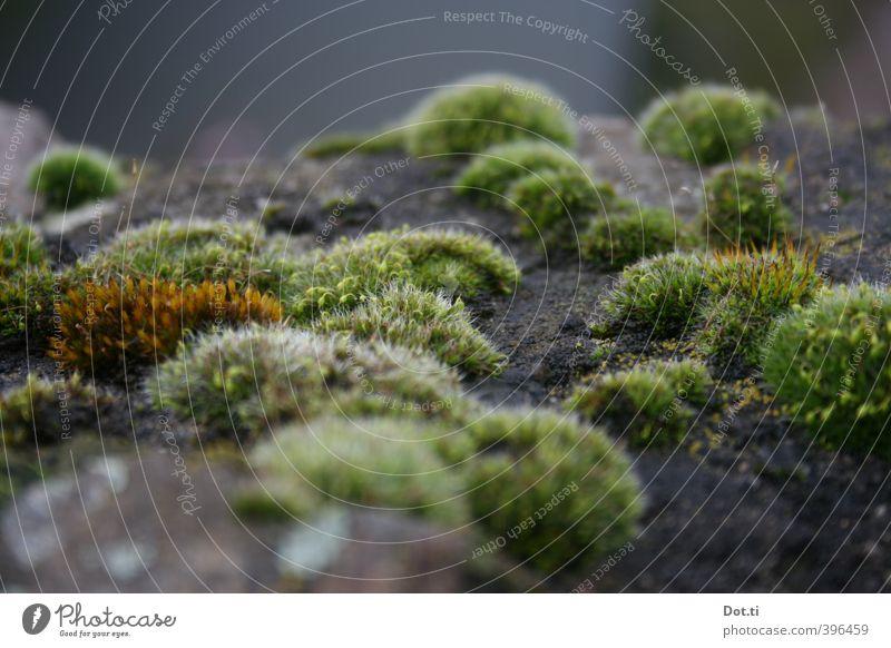 polsterization Natur Pflanze Moos Mauer Wand weich grün Mauerpflanze Mauermoos Stein Polster Hügel Botanik Farbfoto Gedeckte Farben Außenaufnahme Nahaufnahme