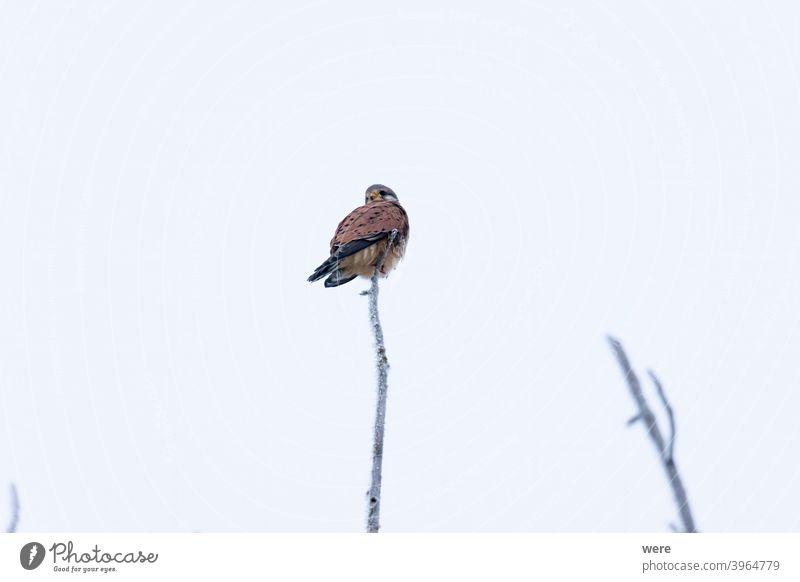 Turmfalke auf einem Zweig mit Rauhreif im Winter Falco tinnunculus Hoarfrost animal bird bird of prey branches cold copy space falconry fast fly frozen hunter