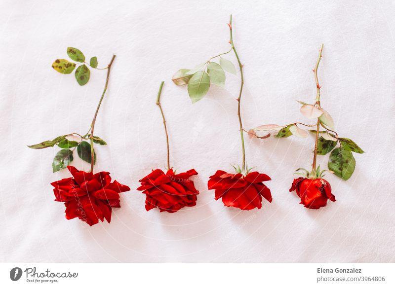Rote Rosen auf einem langen Stiel mit grünen Blättern isoliert auf weißem Schnee Hintergrund blüht Grüße Leidenschaft Texturen Konzepte horizontal Farben